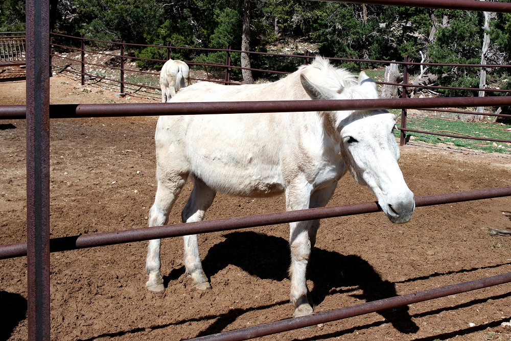 Grand Canyon Horse