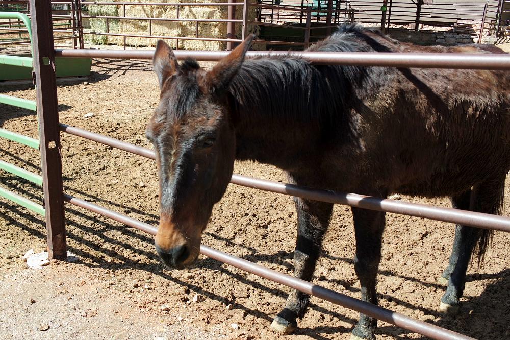 Grand Canyon horses