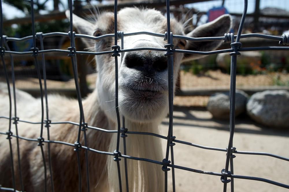 Murrays Family Farm small goat