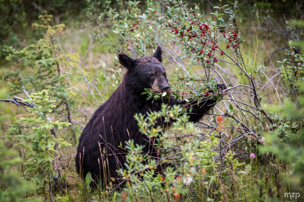 Black bear eating berries | Guide to bear safety while camping in Canada