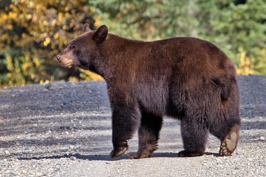 Black bear in Canada | Guide to bear safety while camping in Canada