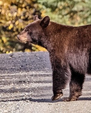 The Easy Guide To Bear Safety When You're Camping in Canada