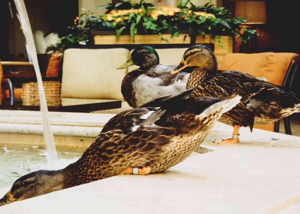 Peabody Ducks, Memphis, Tennessee